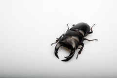 The male china bettle Royalty Free Stock Photography