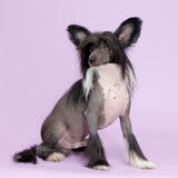 Male chinese crested dog   Stock Photography
