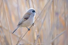 Chinese Penduline Tit. A male Chinese Penduline Tit stans on winter reed stem. Scientific name Royalty Free Stock Photos