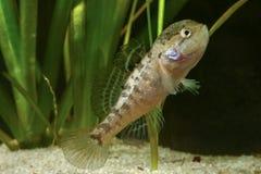 Male of Chinese sleeper fish, perccottus gleni Stock Images