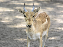 Male Chinkara Royalty Free Stock Photos
