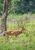 Male chital Deer. A male chital deer in scrubs of Jim Corbett national park Royalty Free Stock Photography