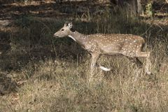 Male Chital or spotted deer who just started to grow horns walki. Ng through a meadow at the edge of the forest Royalty Free Stock Photo