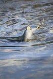 Male Chum Salmon Stock Image