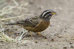 Free Male Cinnamon-breasted Rock Bunting Royalty Free Stock Photo - 75993365