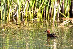 Male Cinnamon Teal duck swims in the marsh at Alamosa National Wildlife Refuge in southern Colorado Stock Images