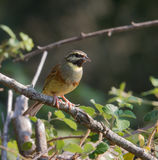 Male Cirl Bunting Royalty Free Stock Photo