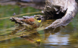 Male Cirl Bunting at waterhole Stock Photography