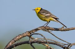 Male Citrine wagtail perched on tiny branch over blue sky royalty free stock photography