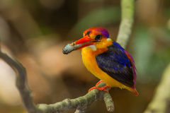 Male close up of Oriental Dwarf Kingfisher Stock Image