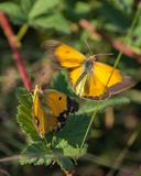 Clouded Yellow butterflies mating process Royalty Free Stock Images