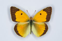 Male of Clouded yellow, Colias croceus  butterfly. On white Royalty Free Stock Photo