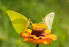 Male Cloudless Sulphur butterfly feeding on orange zinnia Stock Images