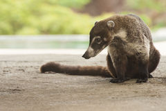 Male Coati Sitting. Male white-nosed coati sits quietly in Costa Rica Royalty Free Stock Image