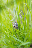 Male cockchafer in the high grass Stock Images