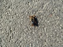 An   male cockchafer lies on its back on the asphalt. The breeding season of May bug, zoological background, concept of entomology Royalty Free Stock Image