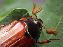 Male of cockchafer. Macro Royalty Free Stock Photo