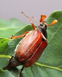 Male of cockchafer on oak leaves Royalty Free Stock Images