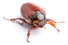 Male of cockchafer  on white Stock Photography