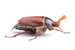 Male of cockchafer  on white Stock Photo
