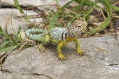 Male collared lizard on rock Stock Photos