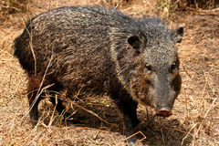 Male collared peccary Stock Image