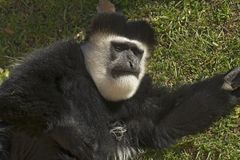 Male Colobe monkey Stock Image