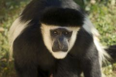 Male Colobe monkey daring Stock Photo
