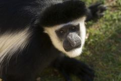 Male Colobe monkey starring. A male Colobe monkey starring at the photographer Royalty Free Stock Photo
