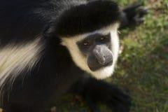 Male Colobe monkey starring Royalty Free Stock Photo