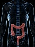 Male colon. 3d rendered illustration of the male colon Stock Photography