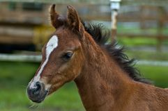 Male colt head-shot royalty free stock images