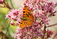 Male Comma butterfly feasting Stock Photos