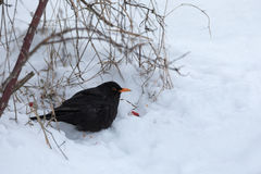 Male of Common black bird in winter Royalty Free Stock Photography