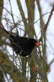 Male of Common black bird in winter. Male of Common blackbird Turdus merula on in winter on rosehip tree Royalty Free Stock Photography