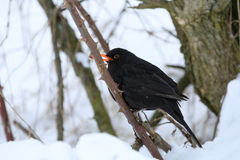Male of Common black bird in winter. Male of Common blackbird Turdus merula on in winter on rosehip tree Stock Photo