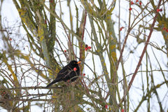 Male of Common black bird in winter. Male of Common blackbird Turdus merula on in winter on rosehip tree Royalty Free Stock Photo