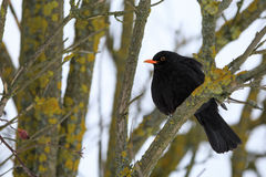 Male of Common black bird in winter. Male of Common blackbird Turdus merula on in winter on rosehip tree Royalty Free Stock Image