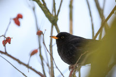 Male of Common black bird in winter. Male of Common blackbird Turdus merula on in winter on rosehip tree Royalty Free Stock Photos