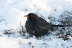 Male of Common blackbird bird on snowy ground. Male of Common blackbird Turdus merula on in winter garden on ground, Czech Wildlife Stock Photography