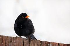 Male of Common blackbird bird Royalty Free Stock Photography