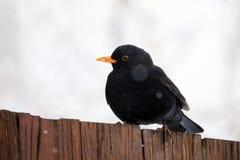 Male of Common blackbird bird Stock Photos