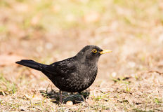 Male Common Blackbird Royalty Free Stock Photos