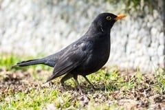 Male Common Blackbird Stock Image