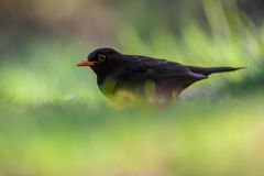 Male common blackbird in garden Royalty Free Stock Photo
