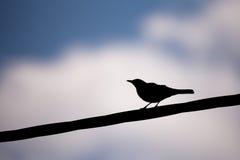 Male of Common blackbird Royalty Free Stock Photo