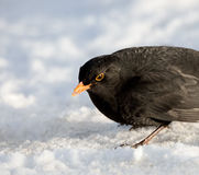 Male Common Blackbird on Snow Royalty Free Stock Photos