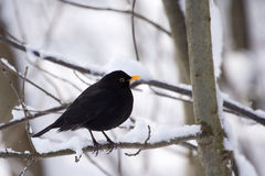Male Common Blackbird (Turdus merula). On snow-covered branch. It is also called Eurasian Blackbird (especially in North America, to distinguish it from the royalty free stock photo