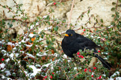Male of Common blackbird. (Turdus merula) on berry of Cotoneaster plant in winter garden, snowy day Royalty Free Stock Photos
