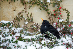 Male of Common blackbird. (Turdus merula) on berry of Cotoneaster plant in winter garden, snowy day Stock Photography
